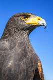 Harris Hawk Lizenzfreie Stockfotos