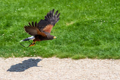 Harris Hawk Immagini Stock