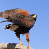Harris Hawk Imagem de Stock Royalty Free