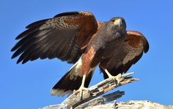 Harris Hawk Royaltyfria Bilder