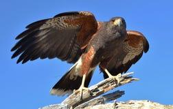 Harris Hawk Immagini Stock Libere da Diritti