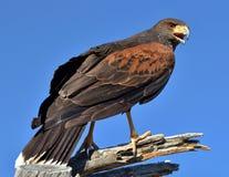 Harris Hawk Foto de Stock Royalty Free