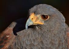 Harris Hawk Fotos de Stock Royalty Free
