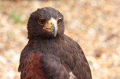 Harris Hawk. Hawk on Perch Stock Photos