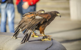 Harris Hawk Stockfotos