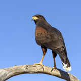 Harris Hawk Photo libre de droits
