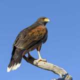 Harris Hawk Photographie stock