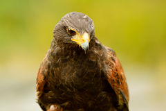 Harris Hawk Stockbild