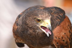 Harris Hawk Image stock