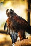 Harris Hawk royalty-vrije stock afbeelding