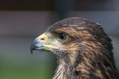 Harris Hawk Photo libre de droits