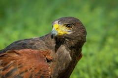 Harris Hawk Fotografie Stock Libere da Diritti