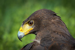 Harris Hawk Royalty-vrije Stock Foto