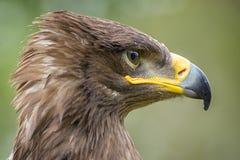 Harris Hawk Lizenzfreies Stockfoto