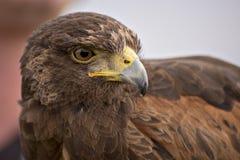 Harris Hawk Stockfoto