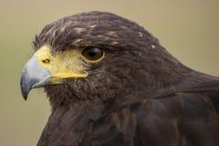 Harris Hawk Lizenzfreies Stockbild