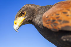 Harris Hawk Fotografia Stock