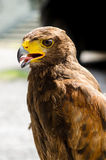 Harris Hawk Stockfotografie