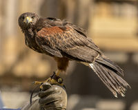 Harris Hawk - 006 Stockbild