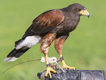 Harris Hawk Photo stock