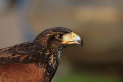Harris Hawk Stock Image