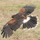 Harris Hawk 2 Lizenzfreie Stockfotos