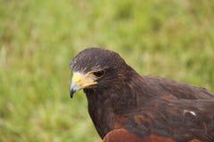 Harris Hawk photos stock