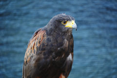 Harris Hawk Fotografia de Stock Royalty Free