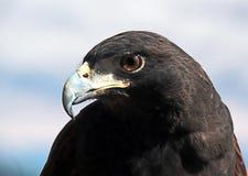 Harris Hawk Royalty-vrije Stock Afbeeldingen