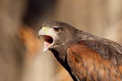 Harris Hawk. This Harris Hawk did not seem to pleased with me taking his photo Stock Photography