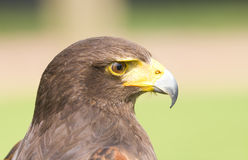 Harris Hawk. Portrait of a Hawk royalty free stock image