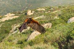 Harris' Hawk. Adult Harris' Hawk In Low Flight Across Brushy Hillside Royalty Free Stock Images