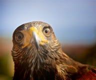 Harris Hawk affronta immagini stock