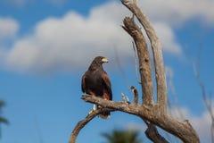 Harris Hawk in albero Immagini Stock