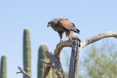 Harris hawk on alert stock photo