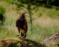 Harris Hawk au repos Image libre de droits