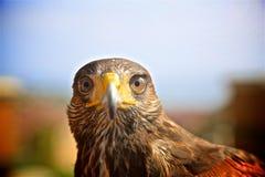 Harris Hawk Bird fotografia stock