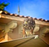 Harris Hawk Bird photos stock