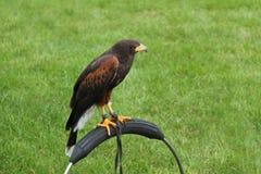 Harris Hawk Bird image libre de droits