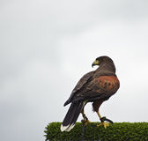 Harris hawk bird of prey during falconry display Royalty Free Stock Images