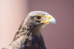 Harris Hawk bird of prey stock photo