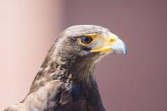 Harris Hawk bird of prey stock photo