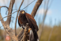 Harris Hawk on Branch Royalty Free Stock Images