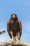 Harris Hawk on Branch Royalty Free Stock Photography
