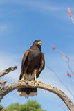 Harris Hawk Calling Out on Branch Royalty Free Stock Photos