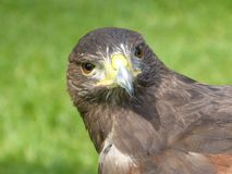 Harris Hawk Stock Photo