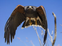 Harris Hawk che vola direttamente nella macchina fotografica Immagini Stock Libere da Diritti
