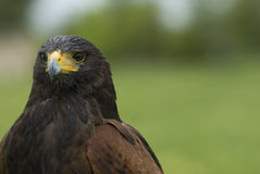 Harris Hawk close up. Stock Images