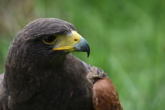 Harris Hawk-close-up Royalty-vrije Stock Afbeeldingen