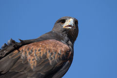 Harris Hawk Close Up Royalty Free Stock Photography